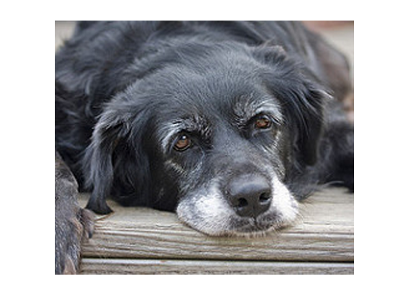 Geriatric Exams For Dogs